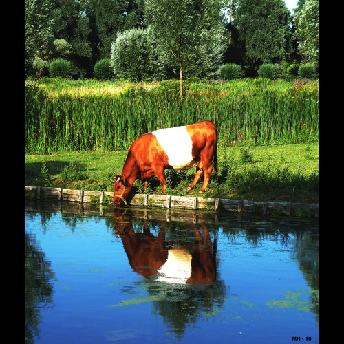 Cartoon: MH - The Dutch Narcissus (medium) by MoArt Rotterdam tagged stillife,narcissus,greekmythology,grieksemythologie,cow,koe,waterfront,waterkant,reflection,weerspiegeling