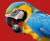 Cartoon: parrot (small) by Medi Belortaja tagged hungry,hunger,ball,food,eating,poor,poverty,brazil,world,cup,fifa,football,soccer,parrot
